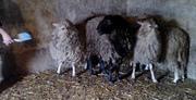 овцы котные!