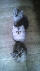 Продам персидских котят