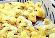 Цыплята суточные кур - несушек
